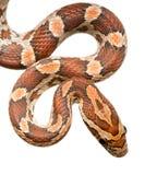 Serpent de maïs Image libre de droits