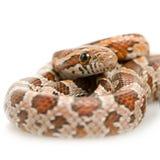 Serpent de maïs photographie stock