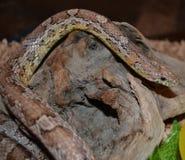 Serpent de maïs Photos stock
