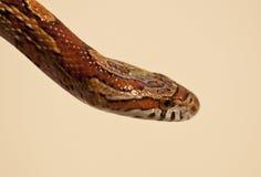 Serpent de maïs Photo stock