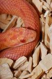 Serpent de maïs albinos Images libres de droits