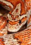 Serpent de maïs de Miami Photo libre de droits