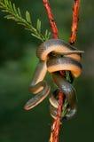 Serpent de maison de l'aurore Photos stock
