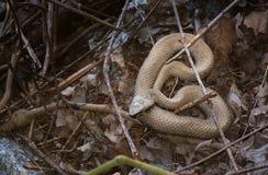 Serpent de marais photographie stock