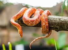 Serpent de maïs Images libres de droits
