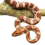 Serpent de maïs Image stock