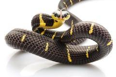 serpent de palétuvier Photos libres de droits