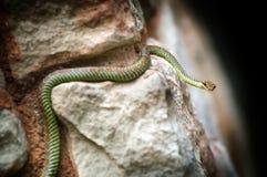 Serpent de paradis images stock