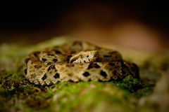 Serpent de poison dans l'habitat de nature Lancehead commun, atrox de Bothrops, chez l'animal tropical de poison de forêt dans la Images libres de droits