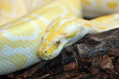 Serpent de python Photographie stock