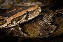 Serpent de python Photographie stock libre de droits