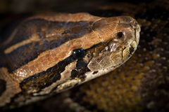 Serpent de python Photo stock