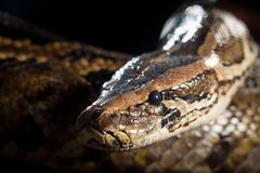 Serpent de python Photo libre de droits