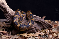 Serpent de python de bille Photo stock