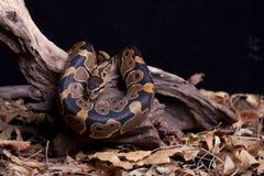 Serpent de python de bille photo stock