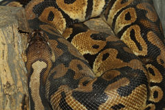 Serpent de python de boule Images libres de droits