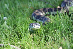 Serpent de python de tapis de jungle Images stock