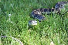 Serpent de python de tapis de jungle Photographie stock libre de droits