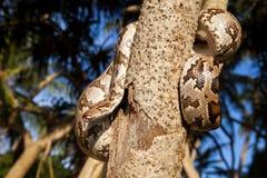Serpent de python enroulé autour d'une branche Photo libre de droits