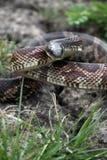 Serpent de rat Photo stock