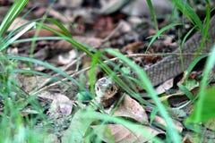 Serpent de rat Image libre de droits
