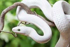 Serpent de rat blanc du Texas sur un branchement en bois Image libre de droits
