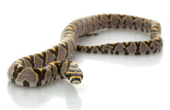 serpent de rat de mandarine Photo libre de droits