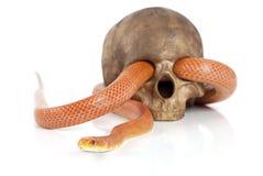 Serpent de rat du Texas avec le crâne Photos libres de droits