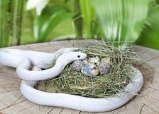 Serpent de rat du Texas dans l'emboîtement d'un oiseau Photo stock