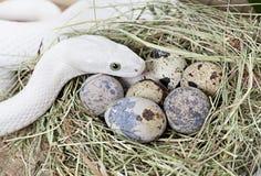 Serpent de rat du Texas sur un embrayage des oeufs Photos libres de droits
