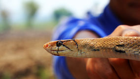 Serpent de rat indochinois Photos stock