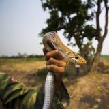 Serpent de rat indochinois Photos libres de droits