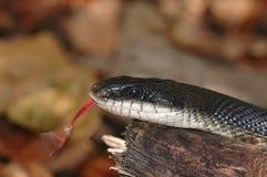 Serpent de rat noir Images libres de droits