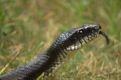 Serpent de rat noir photo stock