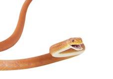 Serpent de rat rouge du Texas. D'isolement sur le fond blanc Photographie stock libre de droits