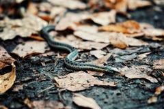Serpent de ruban commun de jarretière aux feuilles de la forêt géante de montagne du Vermont Etats-Unis photo stock