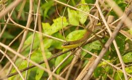 Serpent de sable Rayure-gonflé oriental en végétation Image libre de droits