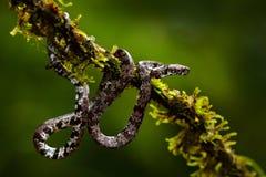 Serpent de soufflage, poecilonotus de Pseustes, dans l'habitat foncé Serpent non venimeux dans l'habitat de nature Animal toxique Photographie stock libre de droits