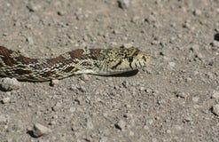 Serpent de Taureau Image libre de droits