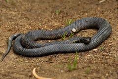 Serpent de tigre - esp?ces de serpent fortement venimeux de scutatus de Notechis trouv?es en Australie, Tasmanie Ces serpents son image stock