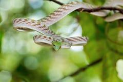 Serpent de vigne asiatique (prasina d'Ahaetulla) Photographie stock