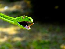Serpent de vigne (Nasuta d'Ahaetulla) Photo stock