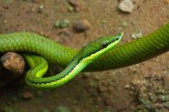 Serpent de vigne vert Images libres de droits