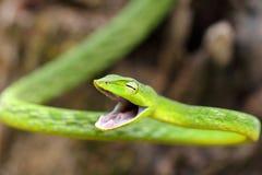 Serpent de vigne vert fâché photographie stock libre de droits