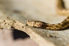 Serpent de vipère à cornes Photographie stock