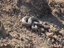 Serpent de vipère Photos stock