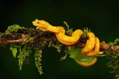 Serpent de vipère de poison de Costa Rica Paume jaune Pitviper, schlegeli de cil de Bothriechis, sur la branche verte de mousse Images stock