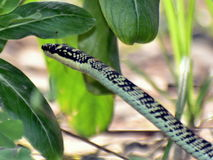 Serpent droit Image libre de droits