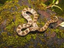 Serpent du ` s Kukri de Russell, taeniolatus d'Oligodon Bhuleshwar, maharashtra, Inde photos stock