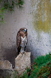 Serpent eagle. Near the stone wall Stock Photo